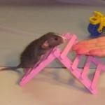 Дрессированные крысы на праздник, заказать дрессированную крысу на детский праздник недорого, дешево, крыса в одежде, пират, дрессированная белая крыса, дрессированные грызуны, дрессированные морские свинки