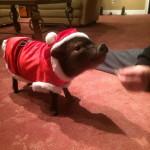 пиги, дрессированная свинья на мероприятие, дрессированная свинья видио, заказать свинью на праздник, белая, в костюме, в шапочке, недорого, дешево, на детский праздник, телефон, домой, домашнее животное, добрая свинья, хрю хрю, пятачок, рыло, хвостик крючком, дрессировщик, дрессировщица