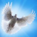 фото голубей на свадьбу, белые голуби на свадьбу