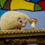 Дрессированный ежик альбинос круче чем обычные на праздниках не дорого