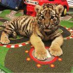 Заказать тигренка для съемки