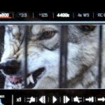 Фотосессия с волком в Москве
