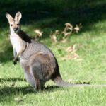 Аренда кенгуру для фотосессии