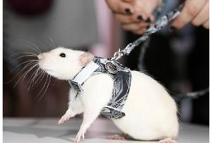 Дрессированные крысы, дрессированные животные на праздник