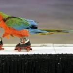 Дрессированный попугай, цирковые, цирк, какаду