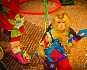 видео дрессированная обезьяна, как дрессировать обезьяну, цена, москва