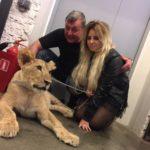 Взрослый лев для фотосессии