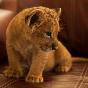 Пригласить львенка домой