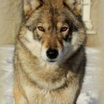 аренда волка для фотосессии