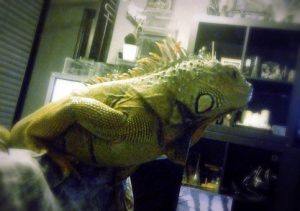 Аренда игуаны для фотосессии