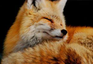 Аренда лисы для фотосессии в Москве