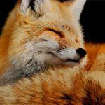 Аренда лисы на праздник
