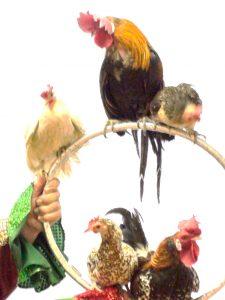 Шоу с петухом и курицами