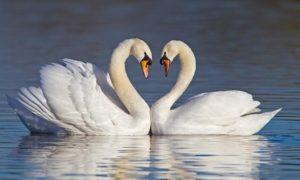 Аренда лебедей для свадьбы