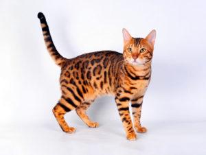 Аренда кошки для съемки