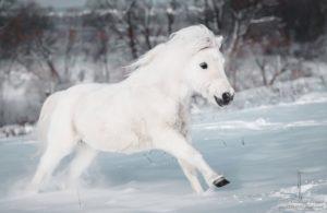 Белый пони на Ваш праздник